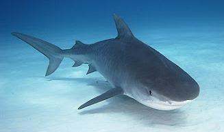 Obx bull shark fishing charters for Shark fishing nc