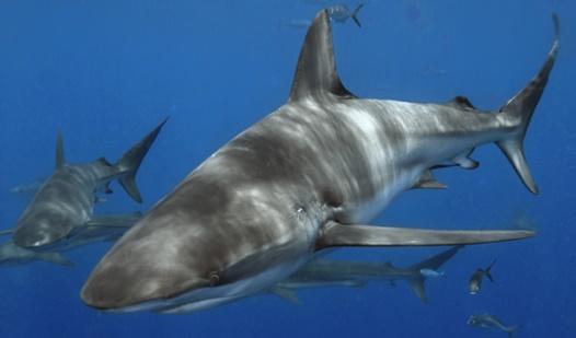 Obx dusky shark fishing charters for Shark fishing nc