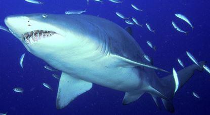 Nc sand shark fishing charters for Shark fishing nc