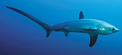 Obx thresher shark fishing charters for Shark fishing nc