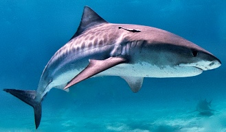 Nc tiger shark fishing charters for Shark fishing nc